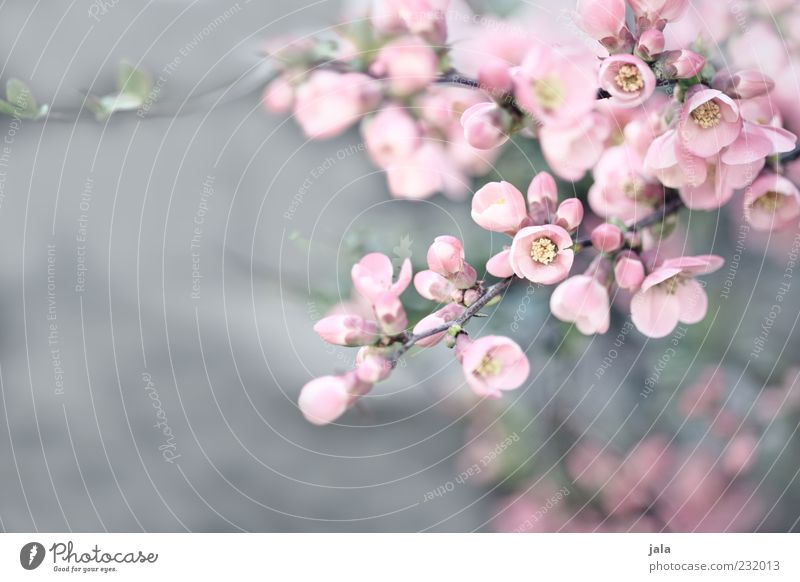 Nature Beautiful Plant Blossom Spring Pink Bushes Blossom leave Quince blossom