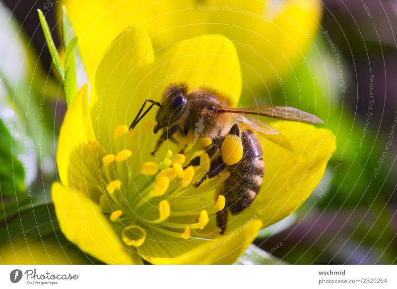 Bee on yellow winterling Environment Nature Plant Animal Spring Flower Blossom Wild plant Eranthis hyemalis Garden Meadow Wild animal 1 Work and employment