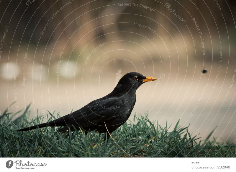 last minute Nature Animal Grass Wild animal Bird 1 Sit Wait Green Black Blackbird Songbirds Beak Ornithology Domestic Feather Colour photo Subdued colour