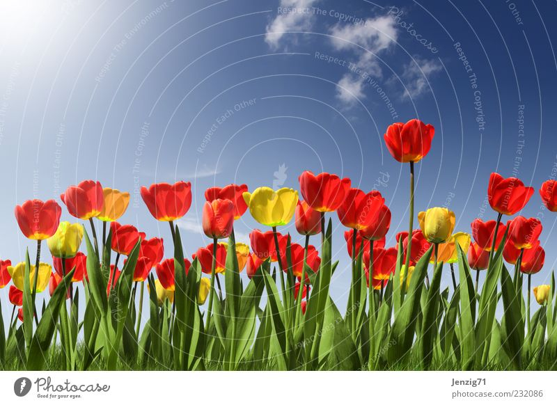 Tulip field. Fragrance Garden Gardening Landscape Plant Sun Sunlight Spring Summer Beautiful weather Flower Blossom Foliage plant Park Meadow Blossoming Blue