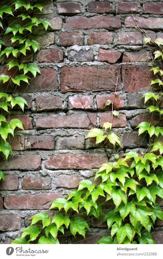 Old Green White Red Leaf Black Wall (building) Gray Stone Wall (barrier) Brown Facade Seam Ivy Tendril Old building