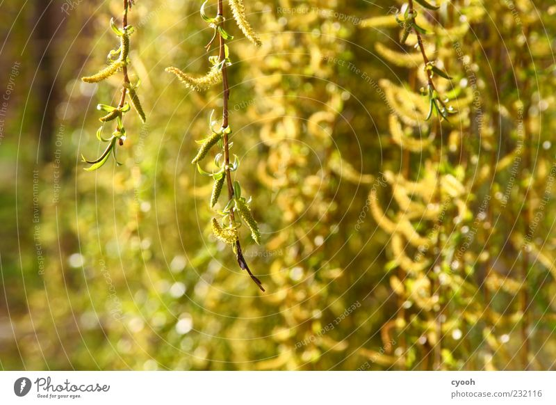 Green Tree Plant Yellow Spring Gold Fresh Growth Illuminate Branch Blossoming Beautiful weather Hang Willow-tree Suspended