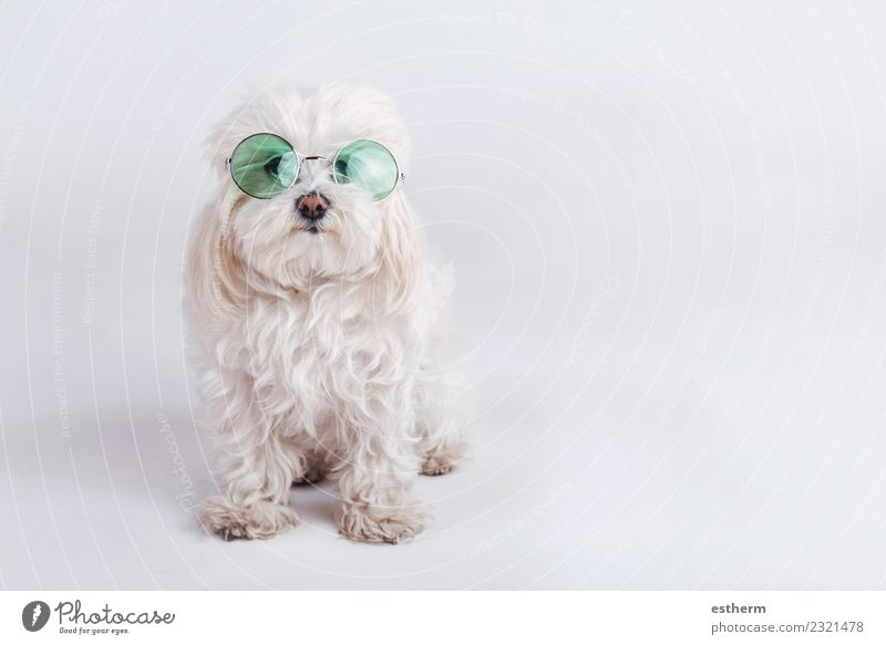 funny dog with sunglasses on white background Accessory Sunglasses Animal Pet Dog 1 Fitness Friendliness Happiness Cuddly Warm-heartedness Sympathy Friendship