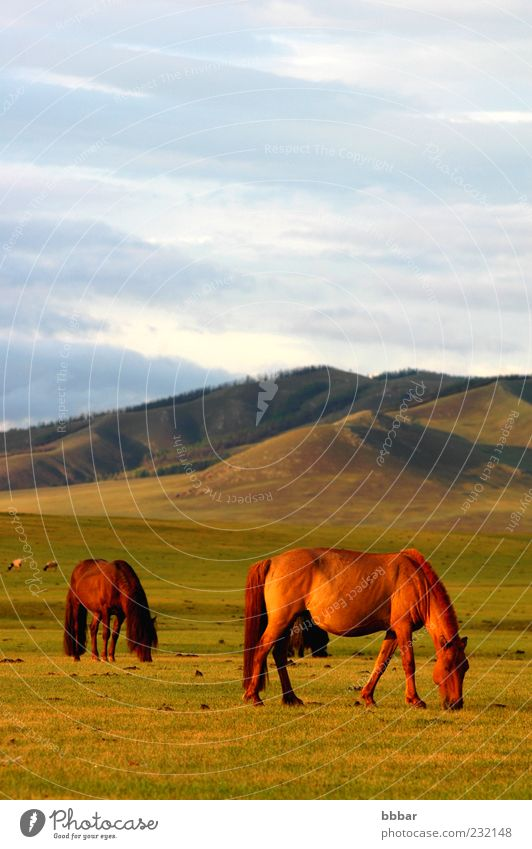 Landscape of horses on the grasslands Calm Mountain Environment Nature Plant Animal Sky Clouds Sunrise Sunset Sunlight Summer Beautiful weather Grass Meadow