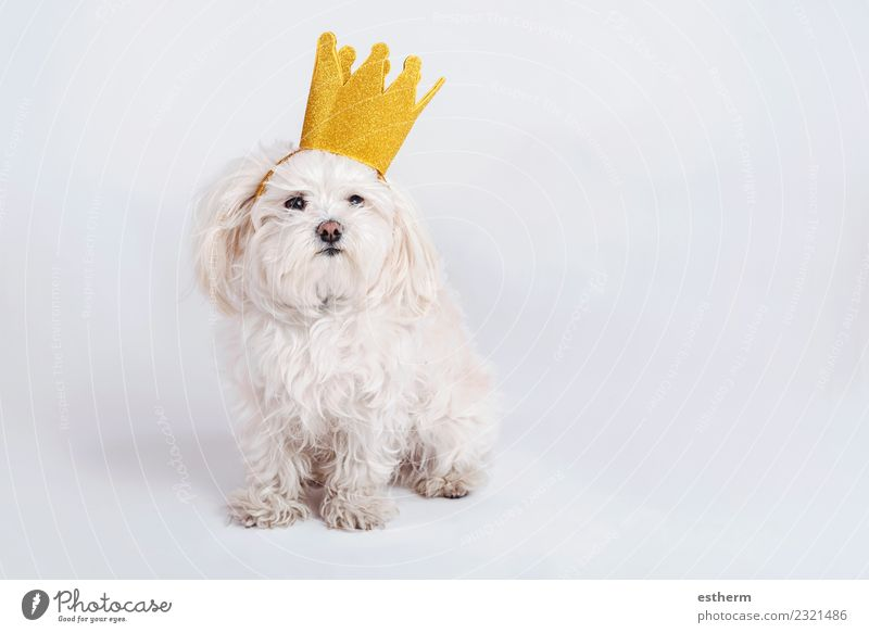 funny dog with crown on white background Animal Pet Dog 1 Sit Friendliness Happiness Happy Funny Sympathy Friendship Together Love Love of animals Adventure