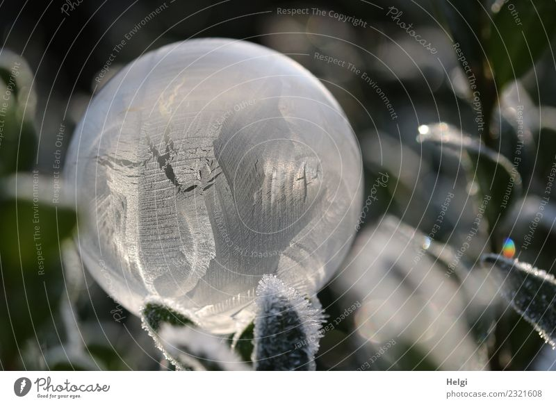 Ice bubble III Environment Nature Plant Winter Frost Leaf Garden Soap bubble Sphere Freeze Glittering Illuminate Lie Esthetic Exceptional Cold Natural Round