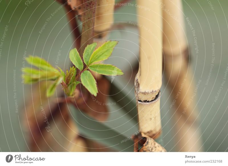 shoots Nature Plant Leaf Shoot Brown Green Spring fever Anticipation Hope Change Bamboo stick New start Subdued colour Exterior shot Macro (Extreme close-up)