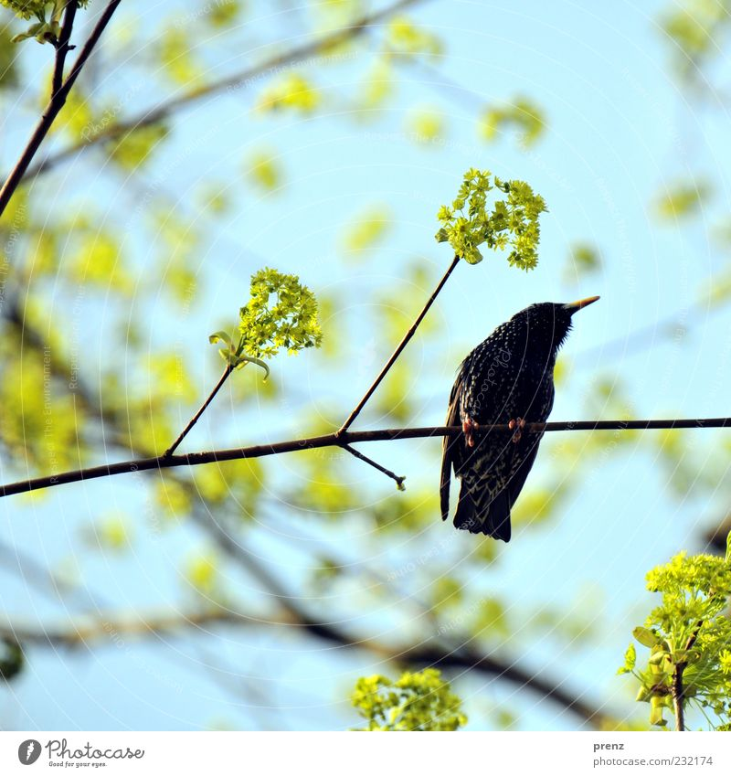 super star Environment Nature Plant Animal Spring Tree Bird 1 Blue Green Black Starling Migratory bird Blossom Twig Twigs and branches Branch Wing Beak
