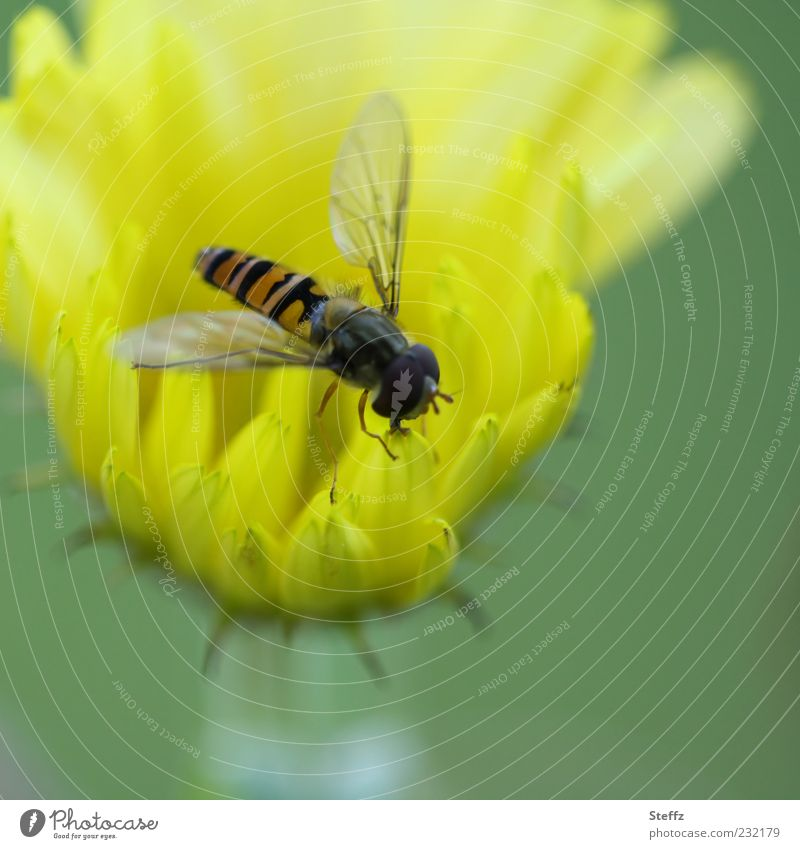 Hoverfly on a yellow garden flower Hover fly Fly Yellow To feed Flower yellow flower Insect Foraging Small Bright green Delicate summer flower Light green Easy