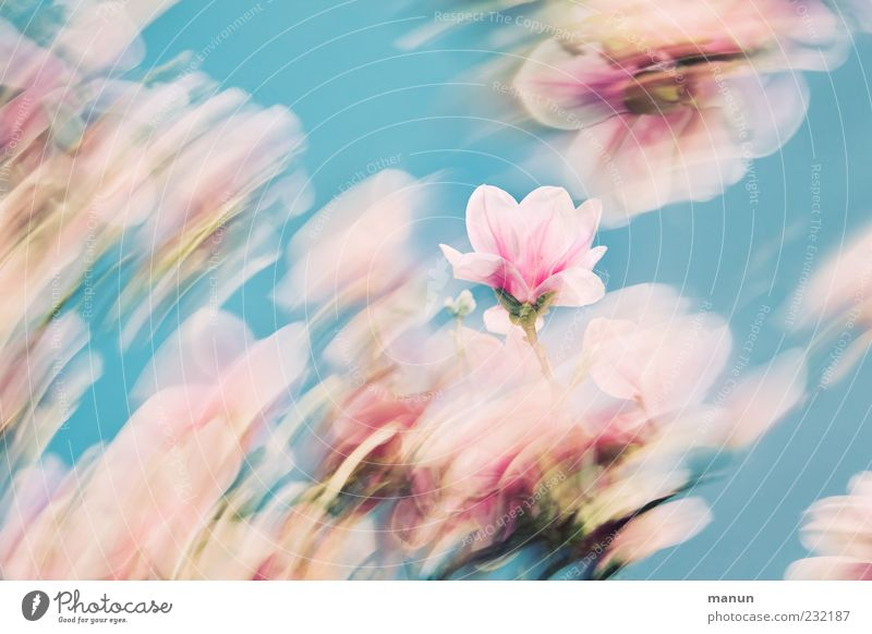 Nature Beautiful Blossom Spring Pink Esthetic Exceptional Kitsch Delicate Fantastic Abstract Turquoise Flower Fragrance Magnolia plants Blue sky
