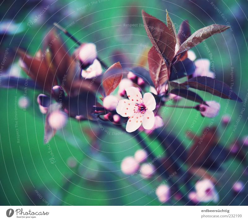 it blooms. Environment Nature Plant Spring Tree Leaf Blossom Bud Blossoming Growth Esthetic Fragrance Green Pink Beautiful Beginning Seasons Transience Sprout