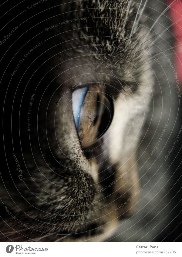 Cat Gray Baby animal Exceptional Observe Pelt Near Pet Animal Vessel Eyelash Domestic cat Lens Partially visible Pupil