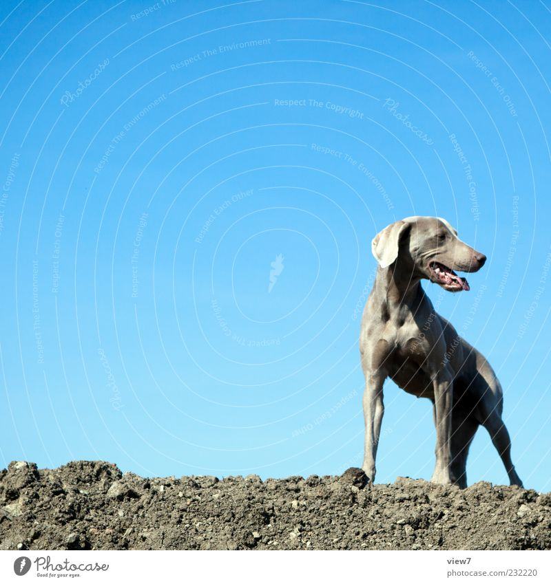 Sky Blue Dog Beautiful Animal Brown Wait Climate Authentic Simple Animal face Beautiful weather Cloudless sky Muscular Puppydog eyes