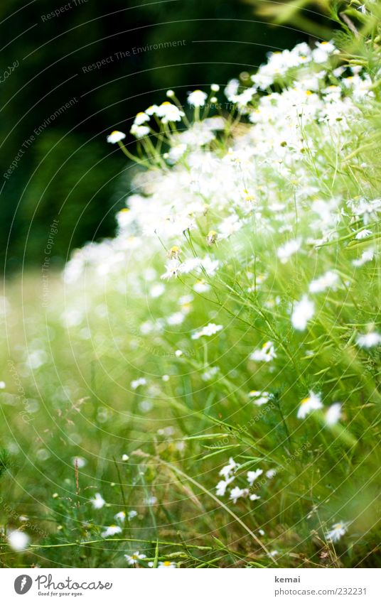 Full chamomile Environment Nature Plant Sunlight Summer Beautiful weather Flower Bushes Leaf Blossom Foliage plant Agricultural crop Wild plant Camomile blossom