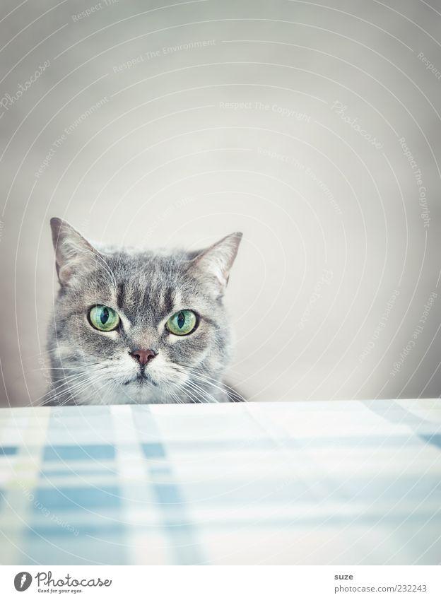 Cat Beautiful Animal Eyes Gray Funny Natural Wait Nutrition Table Cute Observe Pelt Animal face Pet Boredom