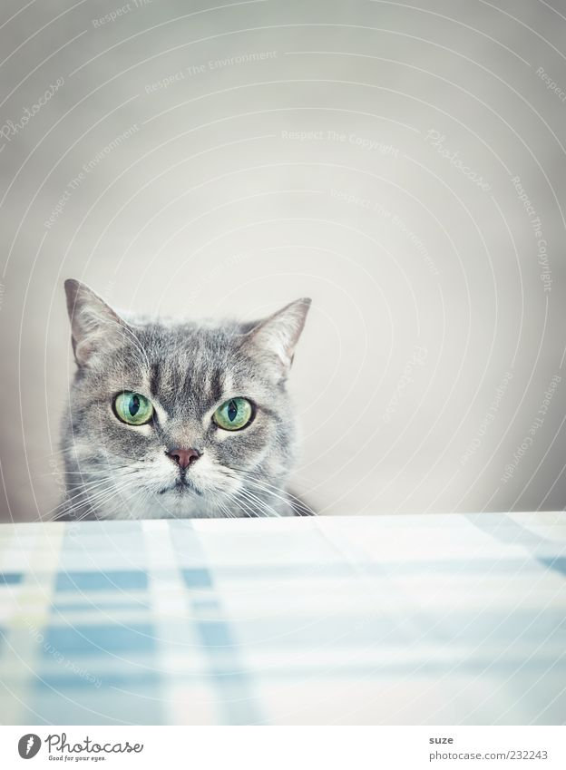What, no breakfast? Table Animal Pet Cat Animal face 1 Funny Natural Cute Beautiful Gray Boredom Domestic cat Eyes Kitchen Table Cat's head Wait Observe