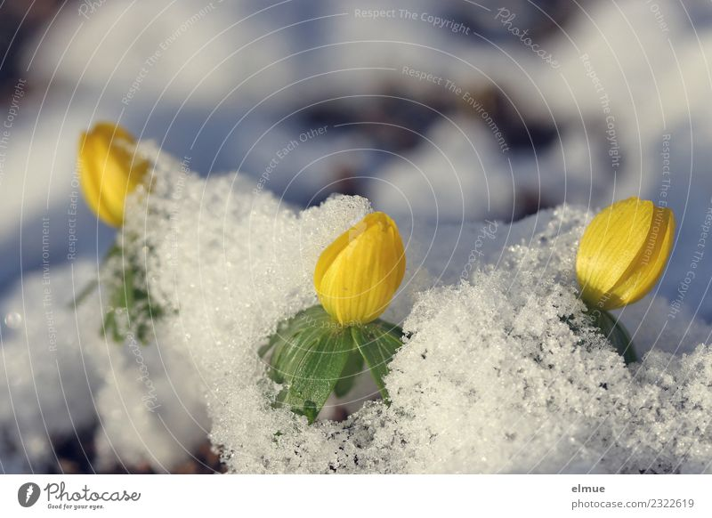 """""""Pillow fight."""" Nature Plant Spring Beautiful weather Snow Flower Blossom Eranthis hyemalis Spring flowering plant Park Snow layer Absorbent cotton Blossoming"""