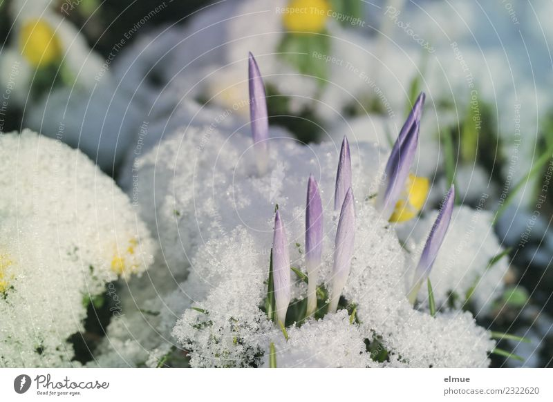 crocus tips Nature Plant Spring Climate change Snow Blossom Crocus Eranthis hyemalis Spring flowering plant Rocket Blossoming Esthetic Curiosity Thin Point
