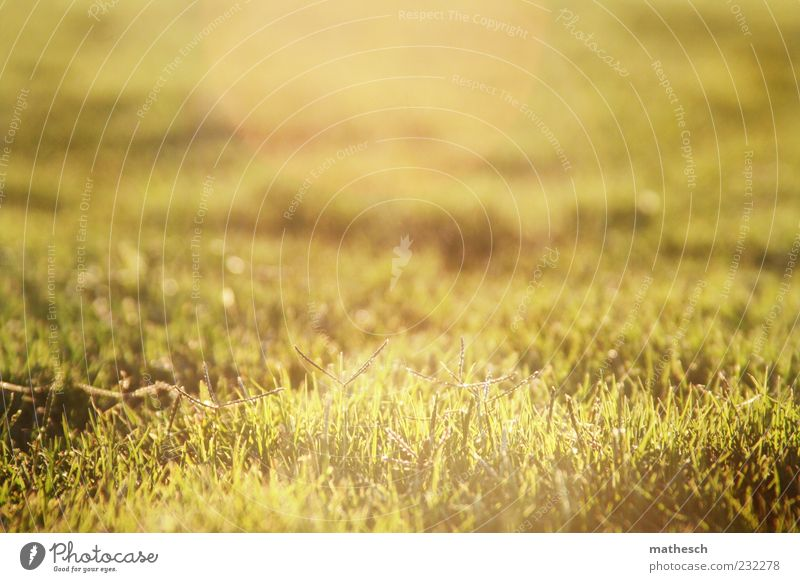 grasshopper Nature Sunlight Summer Grass Meadow Fragrance Soft Gold Green Growth Lawn Colour photo Exterior shot Deserted Copy Space top Copy Space middle