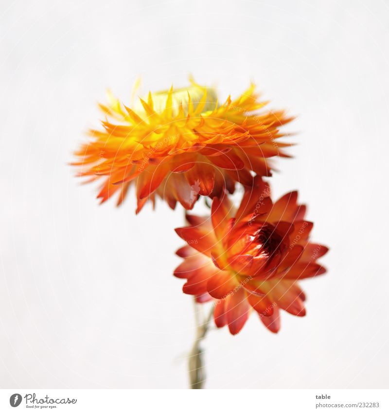 MAG ICH Plant Flower Blossom Dried flower Paper Daisy Blossoming Illuminate Esthetic Beautiful Uniqueness Natural Dry Multicoloured Yellow Gold Green Red White