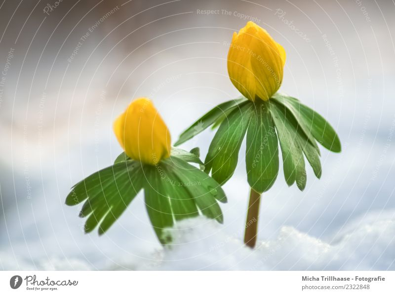 Small yellow flowers in the snow Environment Nature Plant Sun Sunlight Spring Winter Beautiful weather Ice Frost Snow Flower Leaf Blossom Wild plant