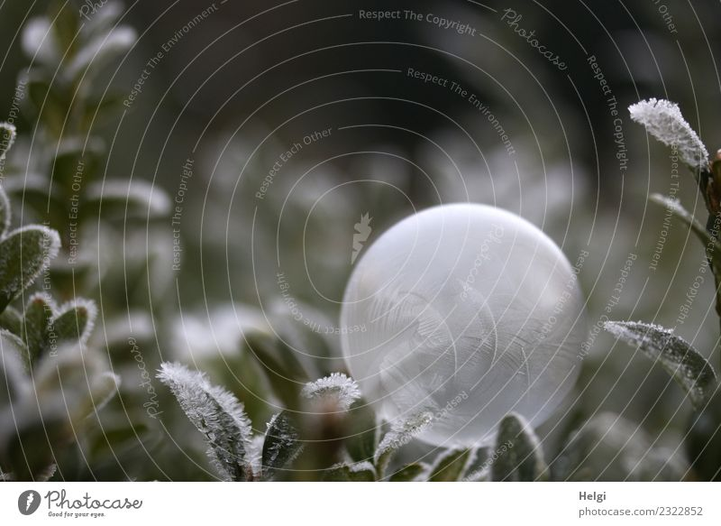 Ice bubble II Environment Nature Plant Winter Frost Leaf Garden Soap bubble Freeze Lie Exceptional Uniqueness Cold Round Gray Green White Esthetic Stress Calm