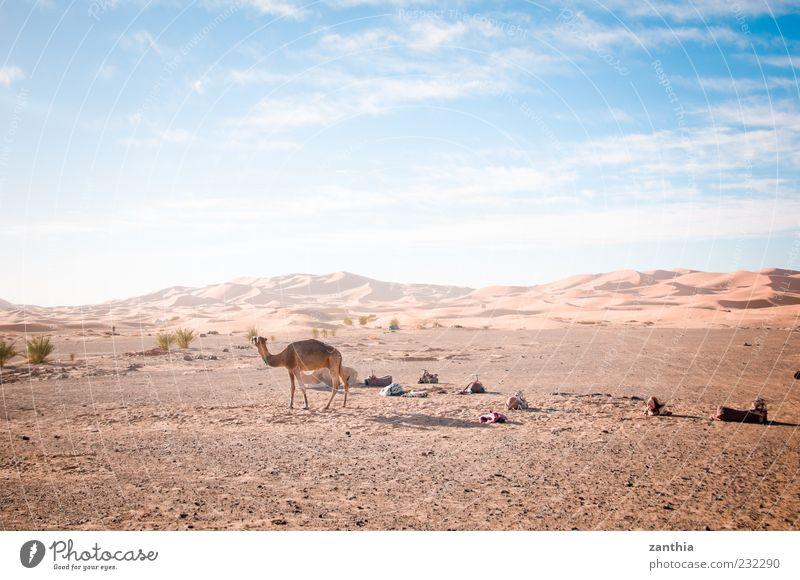 Sahara Environment Nature Landscape Earth Sand Sky Clouds Horizon Autumn Climate Beautiful weather Desert Animal Camel 1 Adventure Loneliness Vacation & Travel