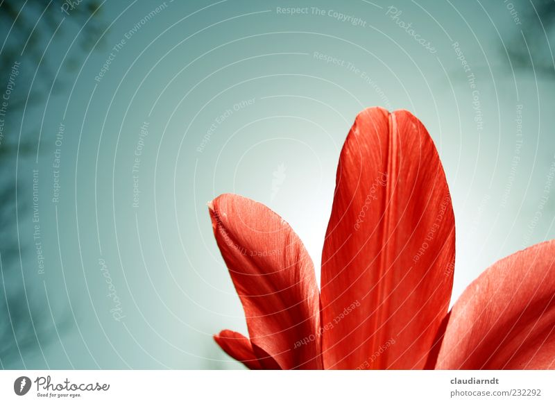Nature Red Plant Flower Blossom Spring Tulip Cloudless sky Blossom leave Gaudy Environment Spring flowering plant