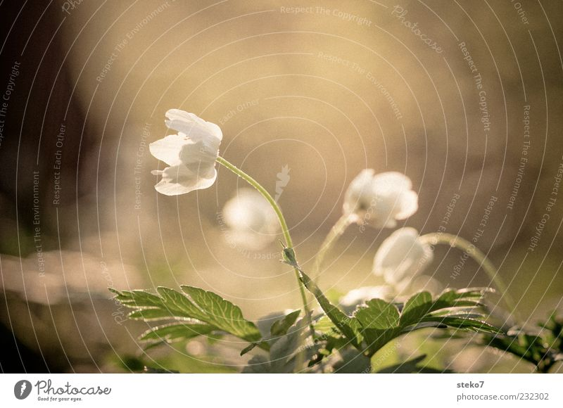 White Green Plant Blossom Spring Fresh Growth Blossoming Spring fever Dawn Flower Twilight Wood anemone