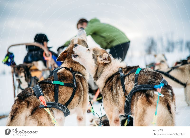 Howling huskies before the sleigh ride in Tromsö, Norway Husky Sledding Snow Action Adventure Sports White Winter Cold Dog Running Pull Cry Landscape Speed Pack