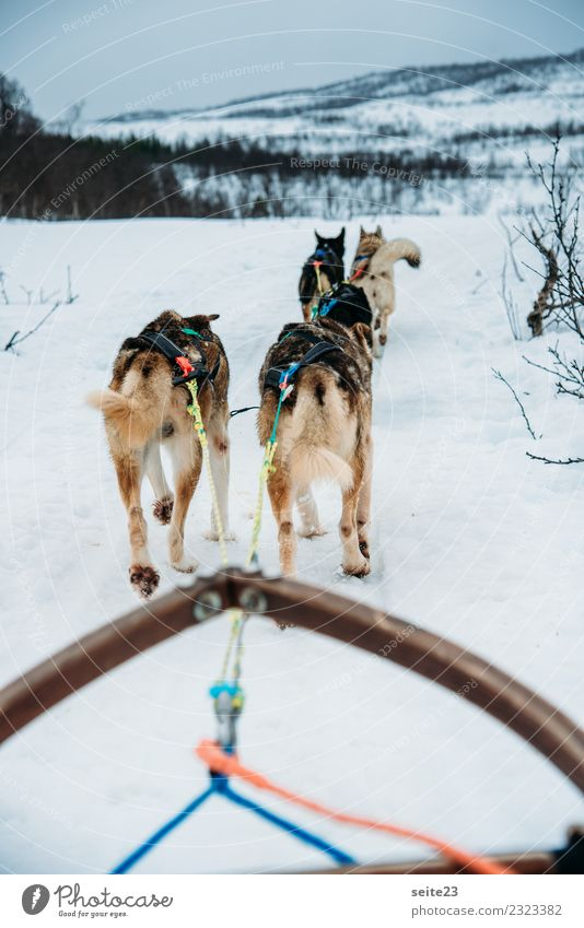 Sleigh ride with huskies in Tromsö, Norway Husky Sledding Snow Action Adventure Sports White Winter Cold Dog Running Pull Cry Landscape Speed Pack
