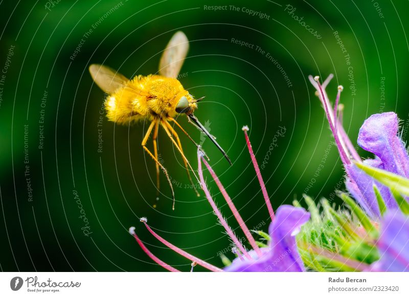 Large Bee-Fly (Bombylius Major) Gathers Flower Pollen Nature Plant Summer Beautiful Colour Green Animal Leaf Yellow Environment Blossom Small Garden Wild
