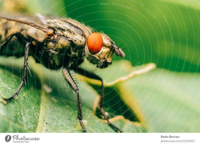 Common Housefly Macro On Green Leaves Background Nature Plant Summer Red Animal Leaf Environment Natural Garden Dirty Wild animal Fly Wing Observe Discover
