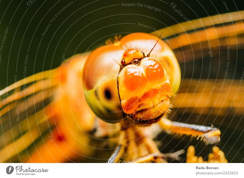 Extreme Macro Photo Of A Dragonfly Nature Beautiful Colour Red Animal Yellow Environment Funny Small Exceptional Orange Wild Wild animal Happiness Adventure