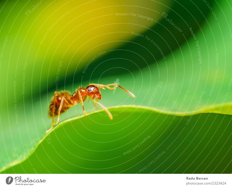 Brown Ant Close Up Details Nature Plant Animal Leaf Wild animal Animal face Small Green Red Insect eye background wildlife fauna close Wilderness Bug Abdomen