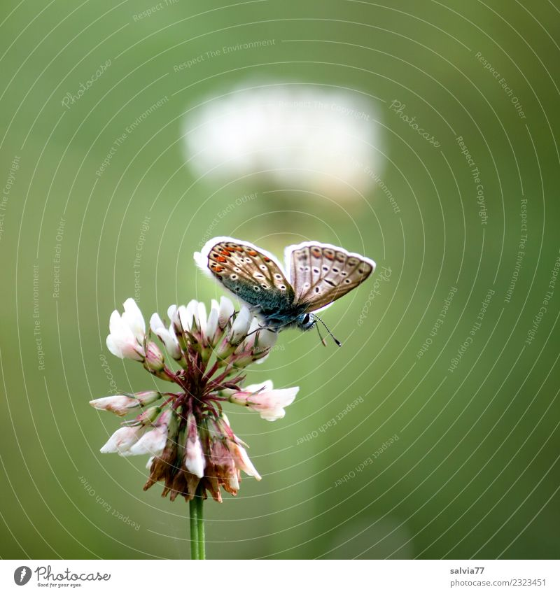 summer lightness Nature Summer Plant Flower Blossom White clover Meadow Wild animal Butterfly Insect Polyommatinae 1 Animal Above Positive Green Fragrance Happy