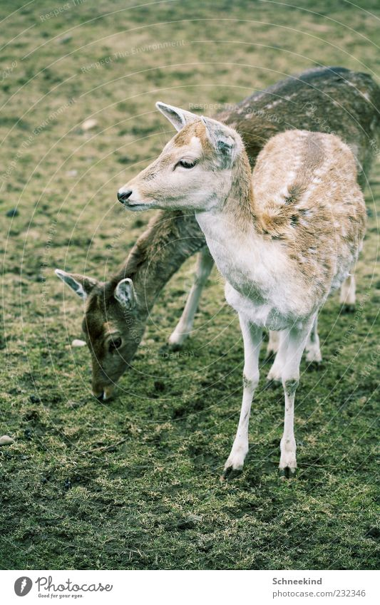 Nature Animal Environment Grass Pair of animals Wild animal Pelt Animal face Zoo To feed Feeding Roe deer Hoof Plant Fawn Game park