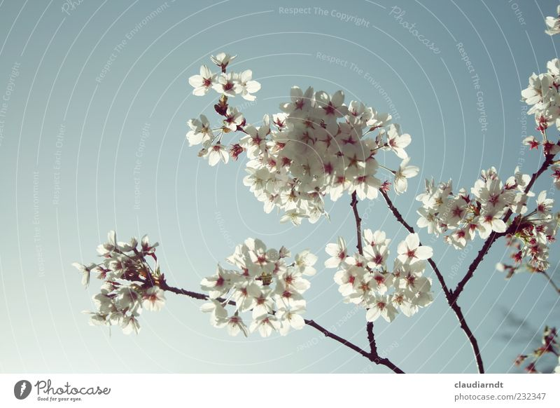 Nature White Plant Blossom Spring Delicate Blossoming Beautiful weather Cloudless sky Delicate Pastel tone Twigs and branches Cherry blossom Cherry tree X-rayed