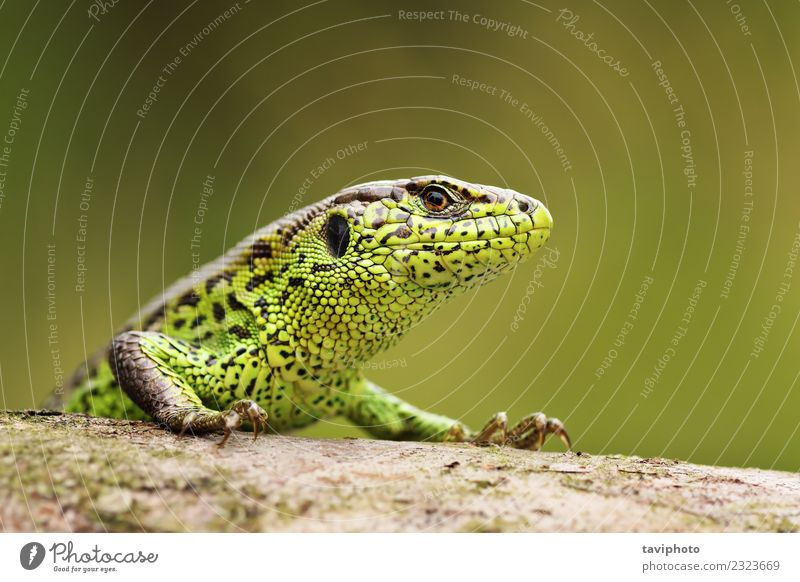 curious sand lizard on a wooden stump Beautiful Skin Face Man Adults Environment Nature Animal Sand Small Natural Wild Green Colour lacerta agilis Reptiles