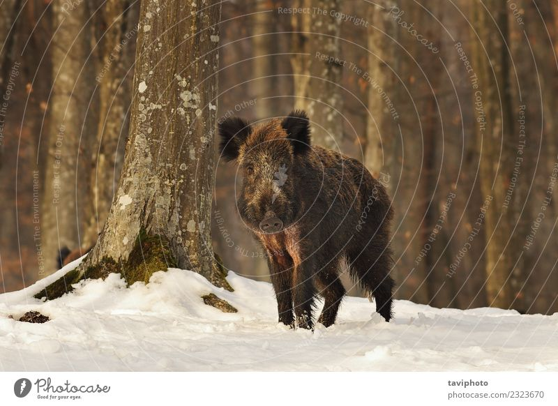 curious wild boar in the woods Nature Youth (Young adults) Beautiful White Animal Winter Forest Dark Face Environment Natural Snow Playing Brown Wild Dangerous