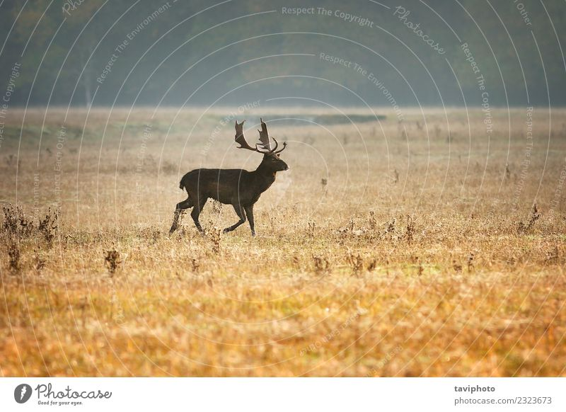 fallow deer stag in beautiful morning light Beautiful Playing Hunting Man Adults Environment Nature Landscape Animal Autumn Fog Meadow Large Natural Wild Brown