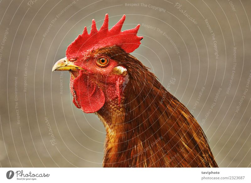 portrait of brown colorful rooster Meat Elegant Beautiful Man Adults Nature Animal Bird Funny Natural Brown Green Red Colour Rooster head Domestic livestock