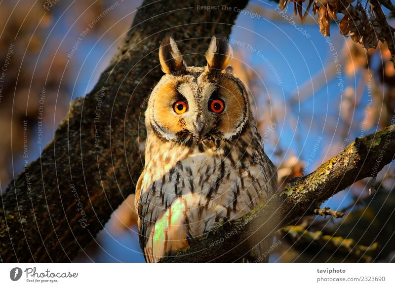 portrait of long eared owl Beautiful Face Environment Nature Animal Tree Forest Bird Sit Long Natural Cute Wild Brown Colour asio otus Owl wildlife head habitat