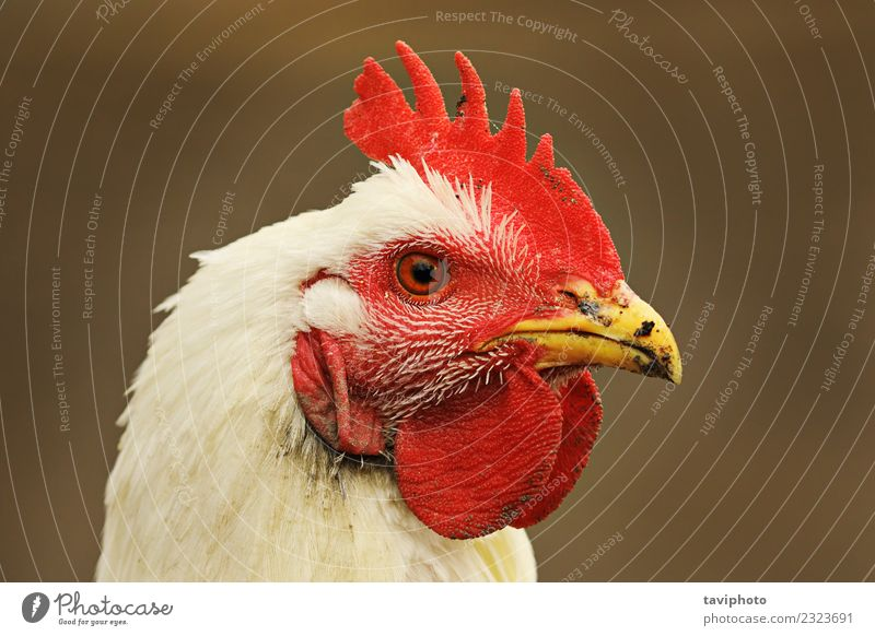 portrait of white hen on out of focus background Meat Nutrition Beautiful Face Woman Adults Nature Animal Bird Stand Dirty Natural Wild Red White Colour