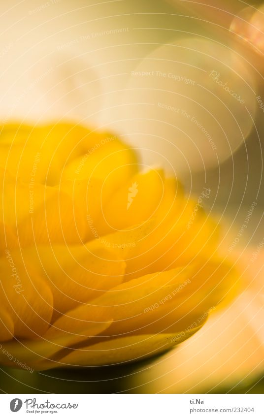 Beautiful Plant Flower Yellow Bright Blossoming Fragrance Blossom leave Buttercup