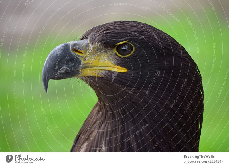 Close up side portrait of eagle Nature Animal Bird Zoo Eagle Head Eyes Beak predator 1 Brown Green Aggression Beautiful Gorgeous Dangerous Watchfulness Alert