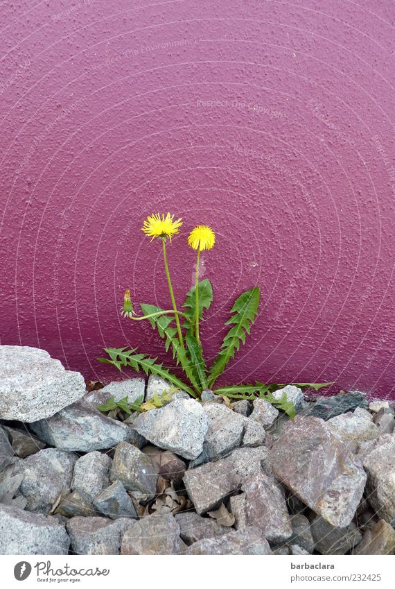 Beautiful Plant Colour Yellow Wall (building) Gray Stone Wall (barrier) Spring Natural Concrete Growth Violet Blossoming Dandelion Flower
