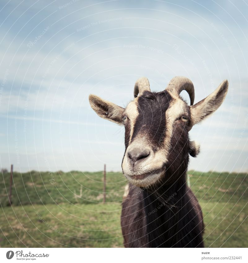 grumble Sky Grass Meadow Animal Farm animal Animal face Goats He-goat 1 Authentic Goatskin Antlers Pasture Grumble Colour photo Multicoloured Exterior shot