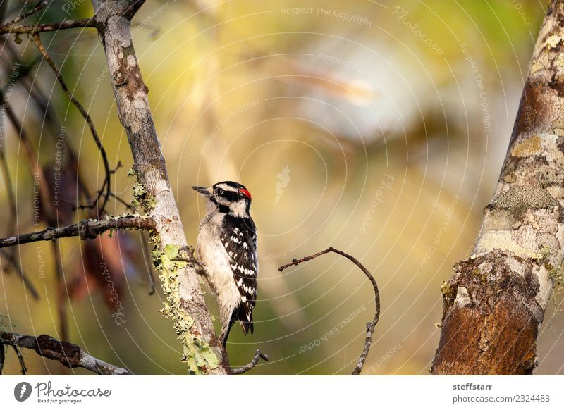 Downy woodpecker Picoides pubescens Plant Tree Forest Red-haired Animal Wild animal Bird 1 Wood Brown Black White Woodpecker Corkscrew Swamp