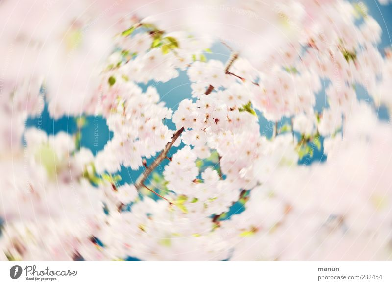 spinning top Nature Spring Tree Leaf Blossom Cherry tree Cherry blossom Cherry Blossom Festival Ornamental cherry Blossoming Rotate Fragrance Exceptional